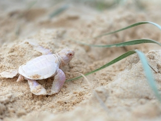 Surprise! Baby green turtle isn't green