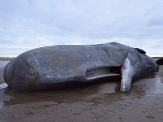Scientists offer theory on sperm whale deaths