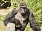 Petitioners seek justice after gorilla's death