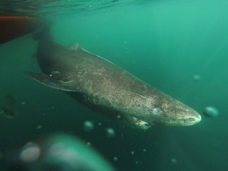 The Greenland shark can live to be 400 years old