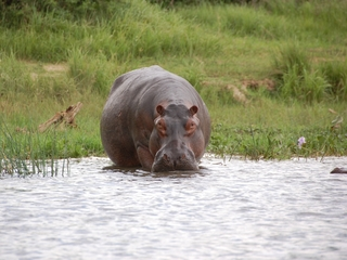 Drug kingpin's hippos cause problems in the wild