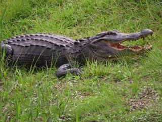Mysterious alligator beheadings in Florida