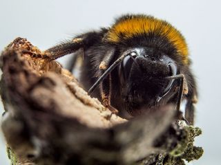 North American bee evaluated for endangered list