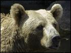 Bear at zoo finds World War II grenade