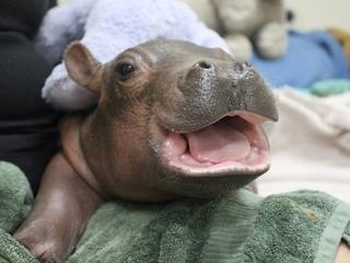 Premature hippo a happy hit for Ohio zoo