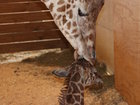 Birthing giraffe becomes a cash cow for tiny zoo
