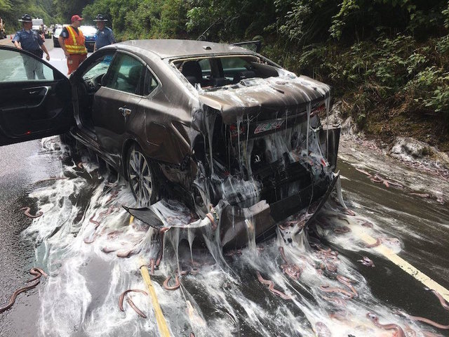 Eels From Overturned Truck Slime Cars on Oregon Highway