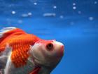 Man cuts pet fish in half, 'traumatizes' kid