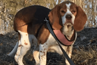 Honey the overweight beagle lost 42 pounds