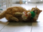 Cat walks 12 miles home, only to be unwanted