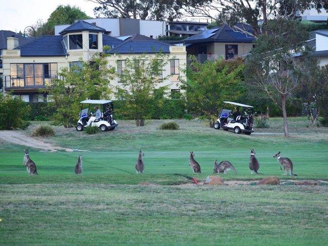 mobs of kangaroos take to streets of australia s capital over food