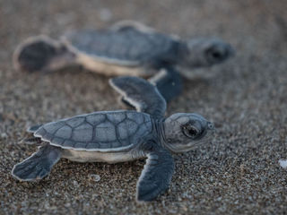 Sea turtle nesting wraps up with strong numbers